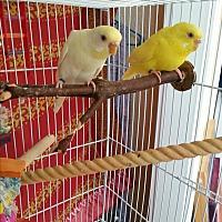 Adopt A Pet :: Peeps & Wei Wei - St. Louis, MO