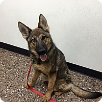 German Shepherd Dog Mix Puppy for adoption in Rosamond, California - Belle #2