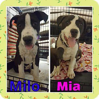 Pit Bull Terrier Mix Dog for adoption in Sacramento, California - Milo and Mia