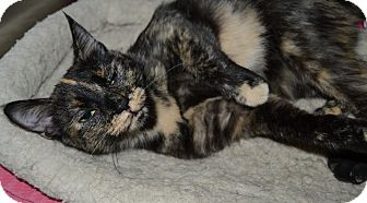 Domestic Shorthair Cat for adoption in Michigan City, Indiana - Karma
