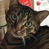 Domestic Shorthair Cat for adoption in Island Park, New York - Ellie