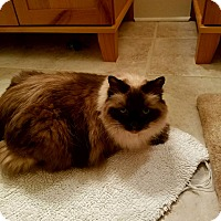 Ragdoll Cat for adoption in Richmond, Virginia - Chi Chi