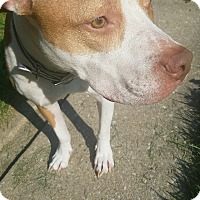 Pit Bull Terrier Mix Dog for adoption in Baltimore, Maryland - Egypt (COURTESY POST)