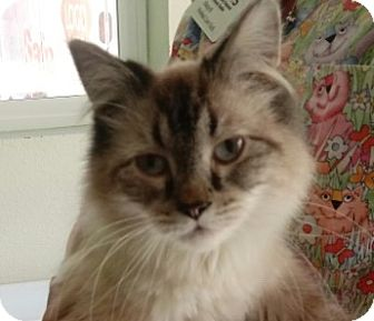 Himalayan Cat for adoption in Divide, Colorado - Boots