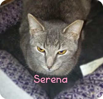 Domestic Shorthair Kitten for adoption in York, Pennsylvania - Serena