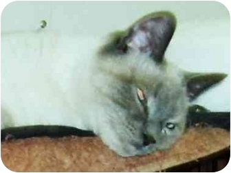 Siamese Cat for adoption in Chilhowie, Virginia - Anna
