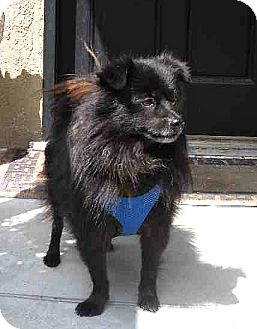 Schipperke Mix Dog for adoption in Temecula, California - Tanner