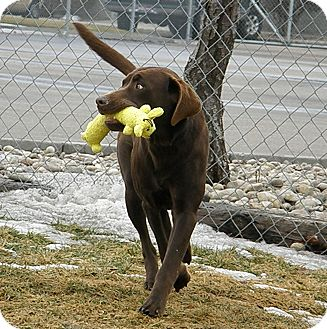 Labrador Retriever Mix Dog for adoption in Meridian, Idaho - Salem