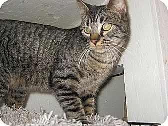Domestic Shorthair Cat for adoption in Coos Bay, Oregon - Sherlock