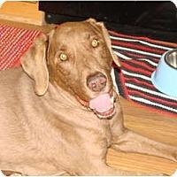 Adopt A Pet :: Copper - Chandler, AZ