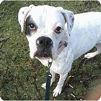 Adopt A Pet :: Kiera ( Deaf) - Grafton, MA