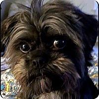Affenpinscher Mix Dog for adoption in Linden, Virginia - VIRGINIA in Linden, VA.
