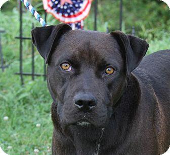 Labrador Retriever Mix Dog for adoption in Marietta, Ohio - Duckie (Neutered)