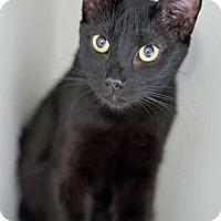 Adopt A Pet :: Olive - Merrifield, VA