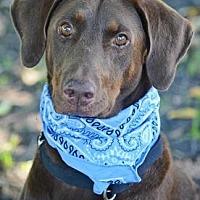 Doberman Pinscher/Labrador Retriever Mix Dog for adoption in Loxahatchee, Florida - Bama