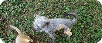 Miniature Schnauzer/Italian Greyhound Mix Dog for adoption in Houston, Texas - MYA