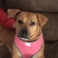 American Staffordshire Terrier/Labrador Retriever Mix Dog for adoption in Charlotte, North Carolina - Kellie