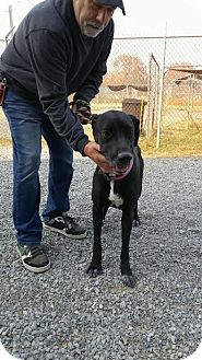 Great Dane Mix Dog for adoption in Ardmore, Pennsylvania - Maddie