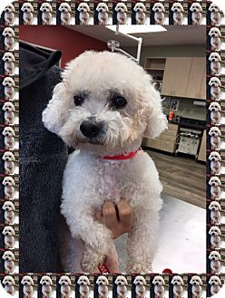 Bichon Frise Dog for adoption in Tulsa, Oklahoma - Adopted!!Pumpkin - TX