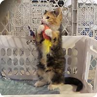 Adopt A Pet :: Meggy - Geneseo, IL