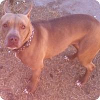 Adopt A Pet :: Gracie - Albuquerque, NM