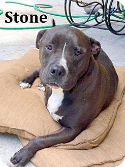 American Staffordshire Terrier/Labrador Retriever Mix Dog for adoption in Cairo, Georgia - Stone