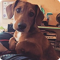 Adopt A Pet :: Pumba - Apple Valley, CA