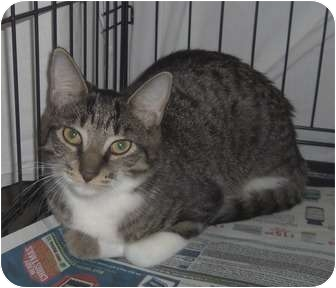 Domestic Shorthair Cat for adoption in Orlando, Florida - Tabby