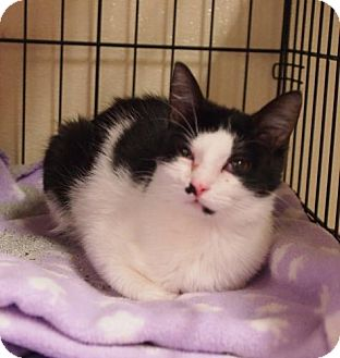 Domestic Shorthair Cat for adoption in Ocean City, New Jersey - Muffin