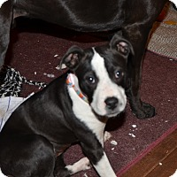Adopt A Pet :: Tippy - Glastonbury, CT