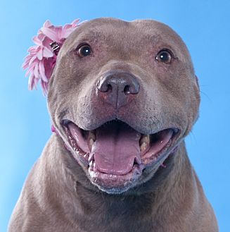 American Pit Bull Terrier/American Staffordshire Terrier Mix Dog for adoption in Chicago, Illinois - Marina