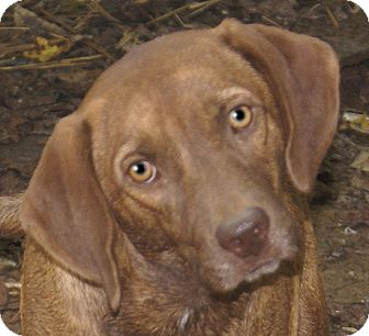 Labrador Retriever/Hound (Unknown Type) Mix Dog for adoption in Allentown, Pennsylvania - Romeo