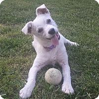 Adopt A Pet :: Little Bit - Knoxville, TN