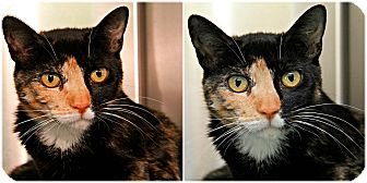 Calico Cat for adoption in Forked River, New Jersey - Laurel