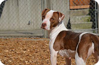 Pit Bull Terrier Mix Dog for adoption in Seattle, Washington - Princess