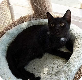 American Shorthair Kitten for adoption in Metairie, Louisiana - Vinny
