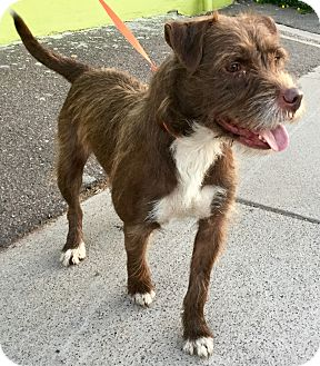 Terrier (Unknown Type, Medium)/Labrador Retriever Mix Dog for adoption in Phoenix, Arizona - Big Red