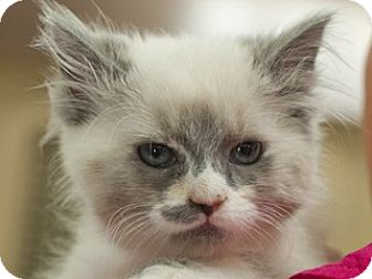 Domestic Shorthair Kitten for adoption in Great Falls, Montana - Clara