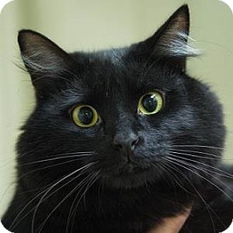 Domestic Mediumhair Cat for adoption in Decatur, Georgia - RICKY