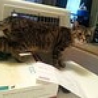 Domestic Shorthair Cat for adoption in Tampa, Florida - Punky Brewster