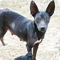 Adopt A Pet :: Baby Girl - Danbury, CT