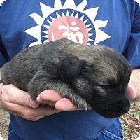 Adopt A Pet :: Puppy Ava - Alabaster, AL