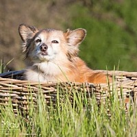 Sheltie, Shetland Sheepdog/Pomeranian Mix Dog for adoption in Capistrano Beach, California - Max