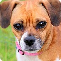 Adopt A Pet :: IGGY(OUR LITTLE
