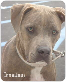 Weimaraner/American Staffordshire Terrier Mix Puppy for adoption in Lake Forest, California - Cinnabun