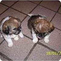 Adopt A Pet :: Pekapoo puppies - Albuquerque, NM