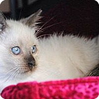Adopt A Pet :: Payton - Palmdale, CA