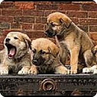 Adopt A Pet :: Puppies! - Owensboro, KY