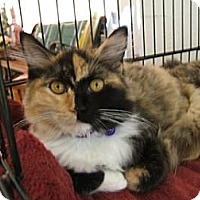 Domestic Mediumhair Cat for adoption in San Jose, California - Angie