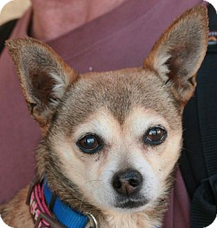 Chihuahua Mix Dog for adoption in Palmdale, California - Abe